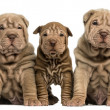 Front view of three Shar Pei puppies sitting, looking at the cam — Stock Photo