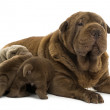 Shar Pei mom lying down, breastfeeding her puppies, isolated on — Stock Photo