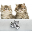 Persian kittens sitting in a silver present box, 10 weeks old, i — Stock Photo