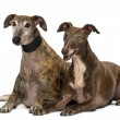 Spanish galgos lying on the floor, isolated on white — Stock Photo