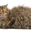 Side view of a Selkirk rex lying, isolated on white — Stock Photo