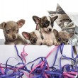 Group of Chihuahua puppies in a present box with streamers, isol — Stock Photo #42779917