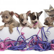 Group of Chihuahua puppies in a present box with streamers, isol — Stock Photo #42779967