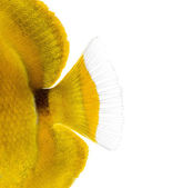Close-up of a Bluelashed butterflyfish's caudal fin, Chaetodon b — Stock Photo