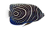 Side view of an Emperor Angelfish, Pomacanthus imperator, isolat — Stock Photo