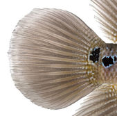Close-up of a Living Legend's caudal fin, Flowerhorn cichlid, is — Stock Photo