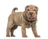 Shar Pei puppy standing, looking at the camera, isolated on whit — Stock Photo