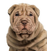 Close-up of a Shar Pei puppy, isolated on white — Stock Photo