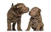 Shar Pei puppies sniffing each other, isolated on white — Stock Photo