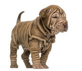 Shar Pei puppy standing, isolated on white — Stock Photo