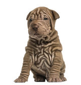 Shar Pei puppy sititng, isolated on white — Stock Photo