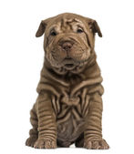 Shar Pei puppy sitting — Stock Photo