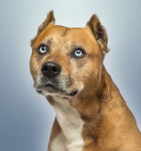 Close-up of an American Staffordshire Terrier, looking up, on bl — Stock Photo