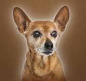 Close-up of an old German pinscher, 13 years old, on brown backg — Stock Photo