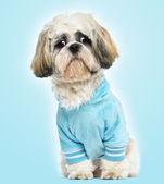 Dressed-up Shih tzu sitting, looking sad, 10 months old, on blue — Stock Photo