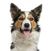 Close-up of a Border collie panting, facing, isolated on white — Stock Photo