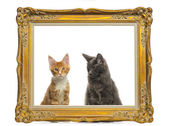 Maine Coon kittens sitting behind a vintage golden frame, isolat — Stock Photo
