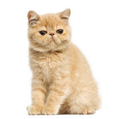 Exotic shorthair kitten sitting, looking at the camera, 10 weeks — Stock Photo