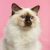 Close-up of a Birman kitten, 5 months old, on a pink background — Stock Photo