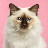 Close-up of a Birman kitten looking at the camera, 5 months old, — Stock Photo
