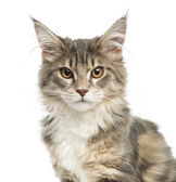 Close-up of a Maine Coon kitten, looking at the camera, 4,5 mont — Stock Photo