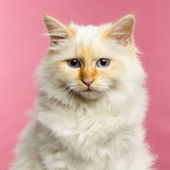 Close-up of a Birman cat, 5 months old, on a pink background — Stock Photo