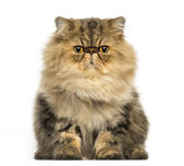 Front view of a grumpy Persian cat facing, looking at the camera — Stock Photo