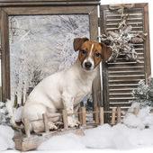Jack russel sitting on a bridge in a winter scenery, 8 months ol — Stock Photo