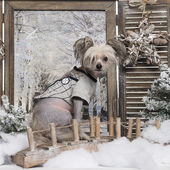 Dressed-up Chinese crested dog in a winter scenery, 9 months old — Stok fotoğraf