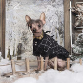 Dressed-up Chinese crested dog in a winter scenery, 3 months old — Stok fotoğraf