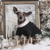 Dressed up Chinese crested dog in a winter scenery, 9 months old — Stock fotografie