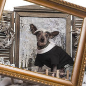 Dressed up Chinese crested dog in a winter scenery with frame, 9 — Stock Photo