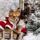 Two dressed-up Chihuahuas on a bridge, in a winter scenery — Stock Photo