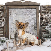 Dressed up Chihuahua looking up, sitting on a bridge in a winter — Stok fotoğraf