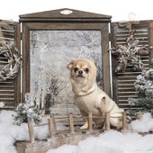 Dressed-up Chihuahua sitting on a bridge in a winter scenery — Photo