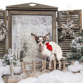 Dressed-up Chihuahua standing in a bridge in a winter scenery — Stok fotoğraf