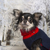 Close-up of a dressed-up Chihuahua in a winter scenery — Foto Stock