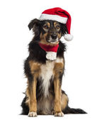 Border collie with christmas hat and scarf, sitting, isolated on — Stock Photo
