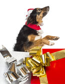 Side view of a Border collie going out of present boxes, isolate — Stock Photo