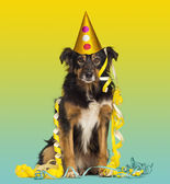Close-up of a Border collie with party hat and streamers, sittin — Stock Photo