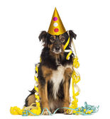 Front view of a Border collie partying, sitting, looking at the — Stock Photo
