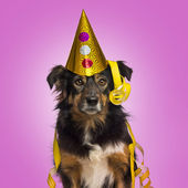 Close-up of a Border collie with party hat and streamers facing, — Stock Photo