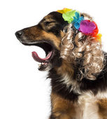 Side view of a Border collie with a blond wig, yawning, isolated — Stock Photo