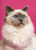 Close-up of a Birman cat, looking up, on pink background — Stock Photo