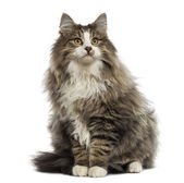 Norwegian Forest cat sitting, looking up, isolated on white — Stock Photo