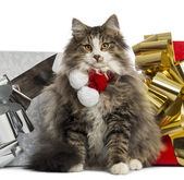 Norwegian Forest cat wearing a christmas scarf, with present box — Stock Photo