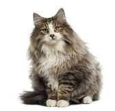 Norwegian Forest cat sitting, isolated on white — Stock Photo