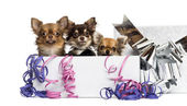 Group of Chihuahuas in a present box with streamers, isolated on — Stock Photo