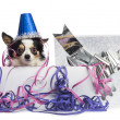 Chihuahua wearing a party hat in a present box with streamers, l — Stock Photo #42780985