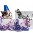 Chihuahua wearing a party hat in a present box with streamers, i — Stock Photo #42780987